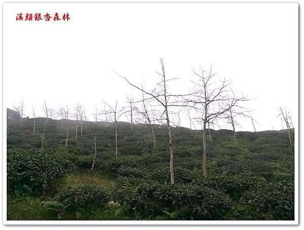 溪頭銀杏森林 32