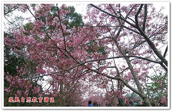台大茶園 05