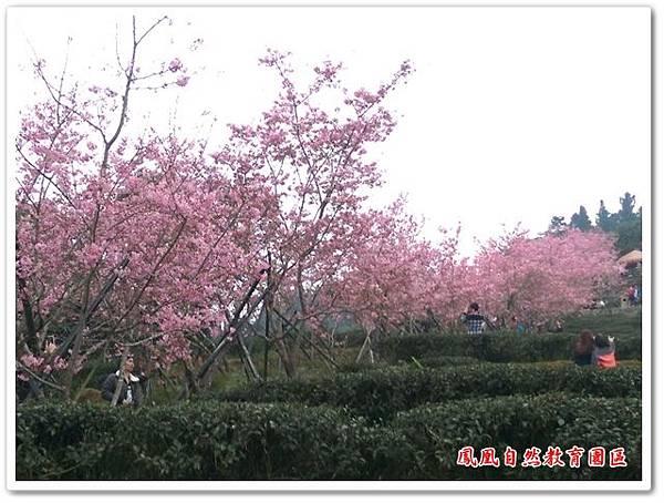 台大茶園 08