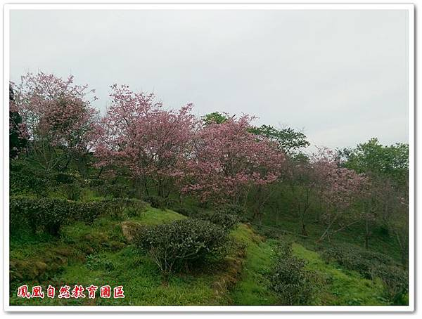 台大茶園 23