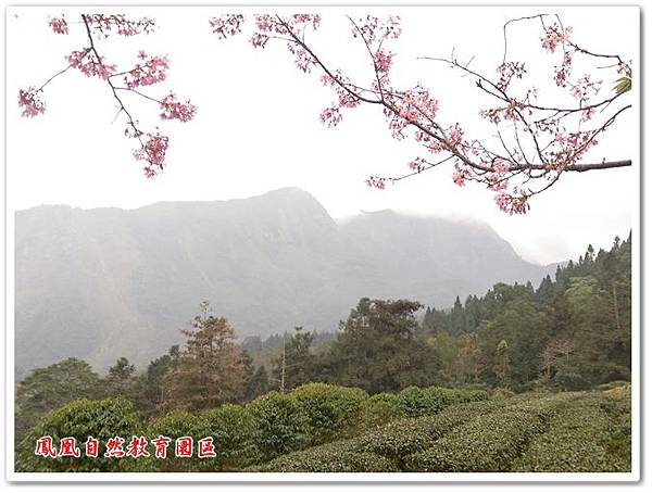 台大茶園 25