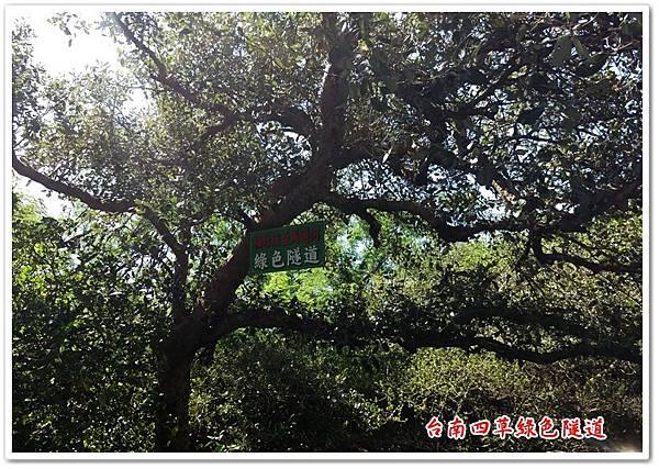 台南四草綠色隧道 17