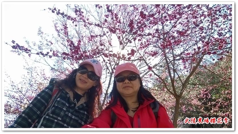 武陵農場櫻花季 02
