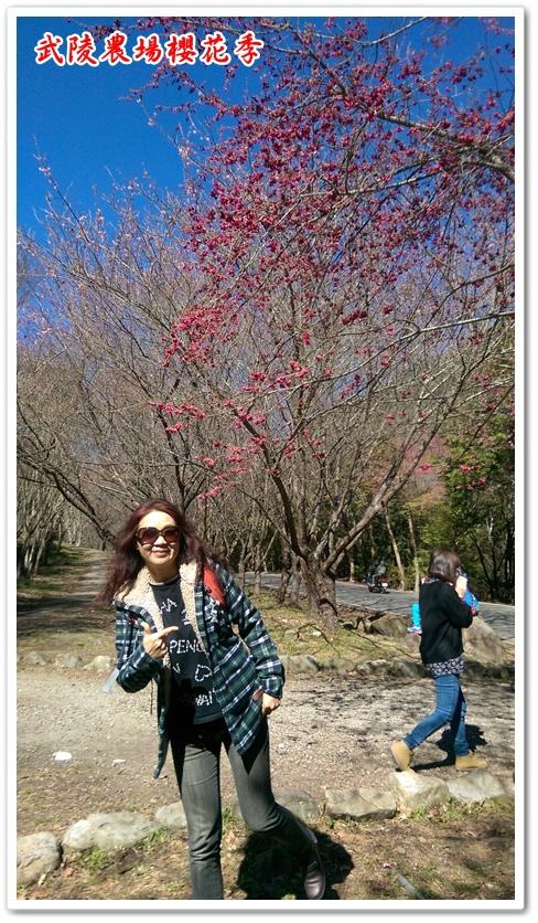 武陵農場櫻花季 03