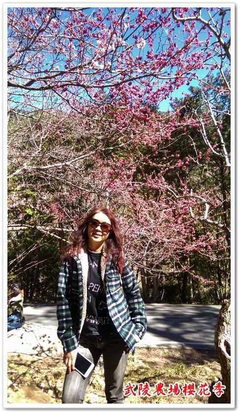 武陵農場櫻花季 04