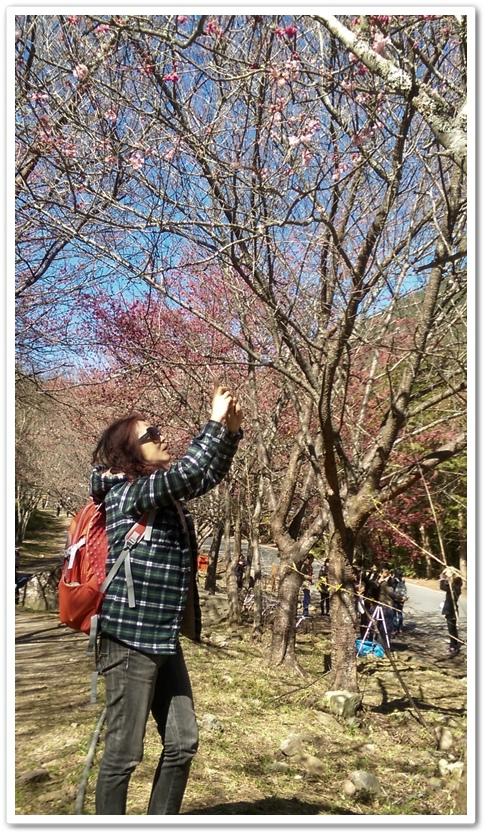 武陵農場櫻花季 05
