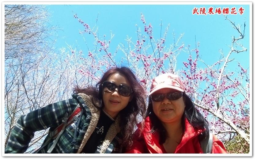 武陵農場櫻花季 06