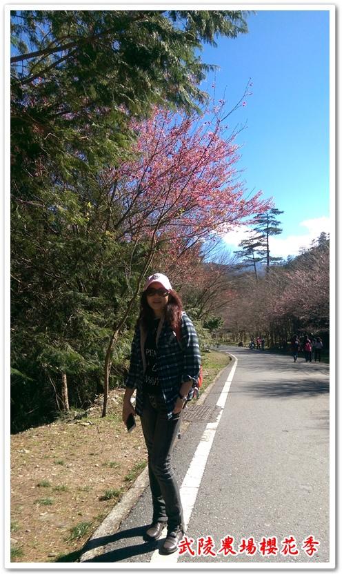 武陵農場櫻花季 07