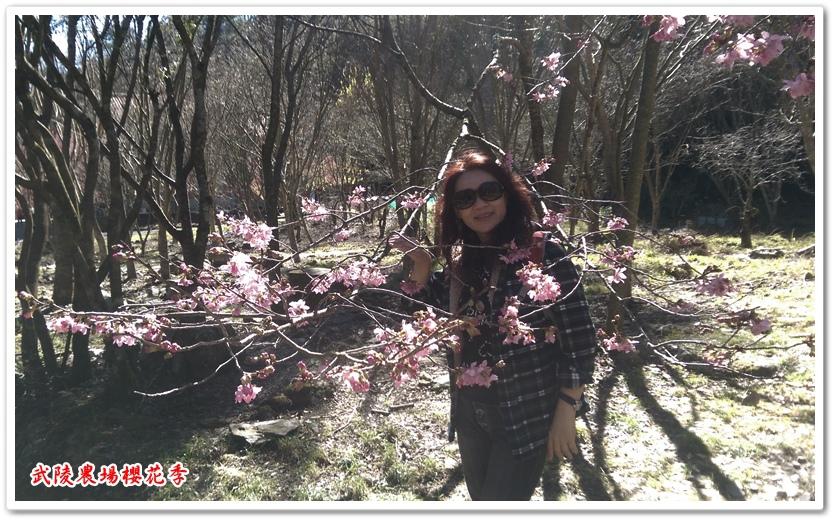 武陵農場櫻花季 08