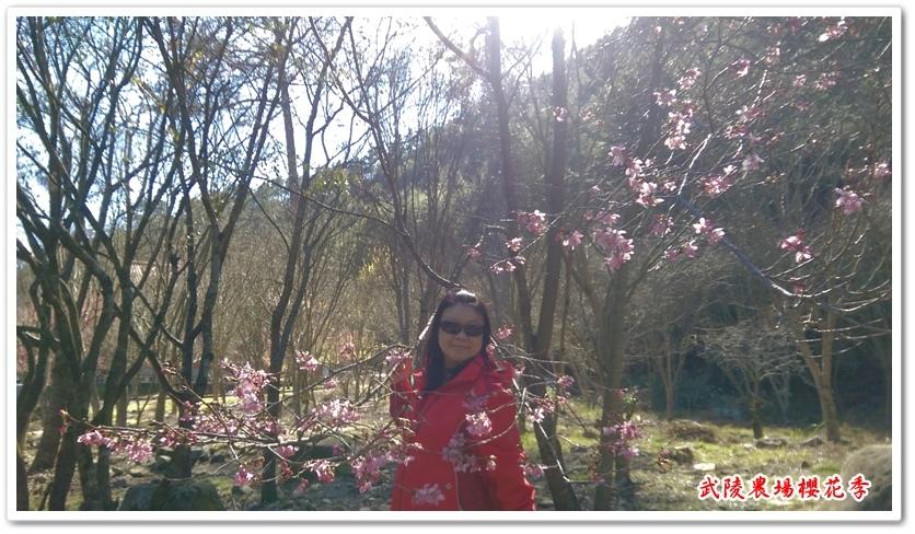 武陵農場櫻花季 09