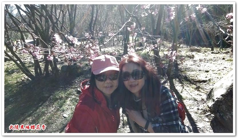 武陵農場櫻花季 11