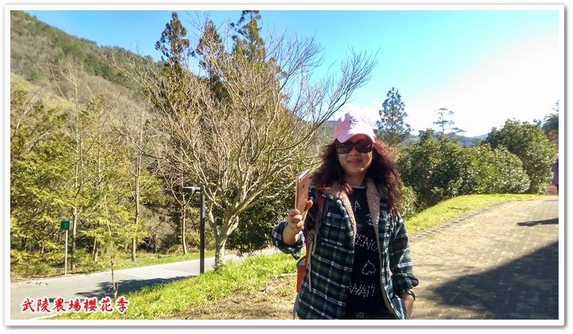 武陵農場櫻花季 12