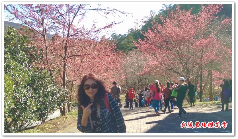 武陵農場櫻花季 13