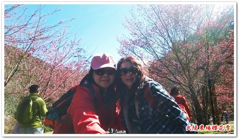 武陵農場櫻花季 14