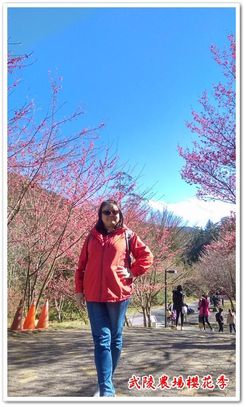 武陵農場櫻花季 16