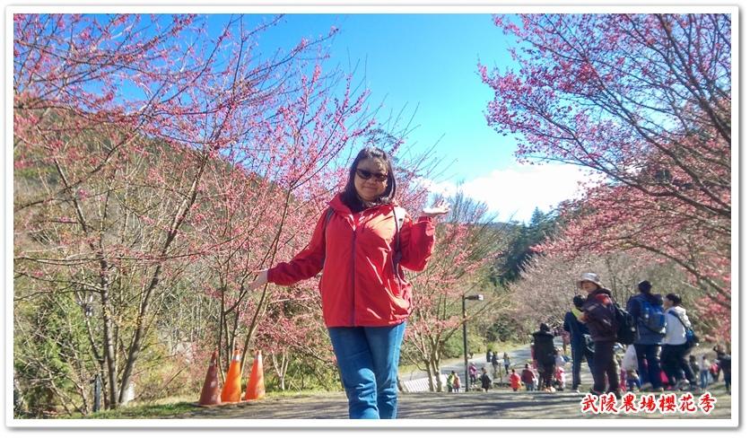 武陵農場櫻花季 17