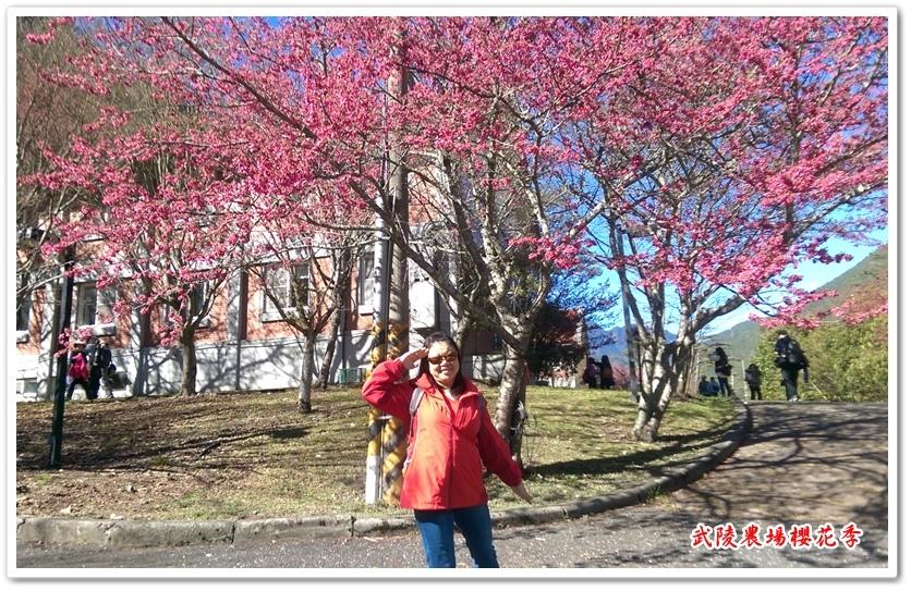 武陵農場櫻花季 19