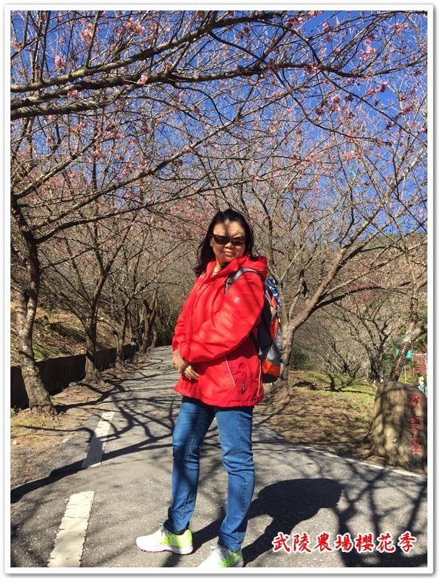 武陵農場櫻花季 20