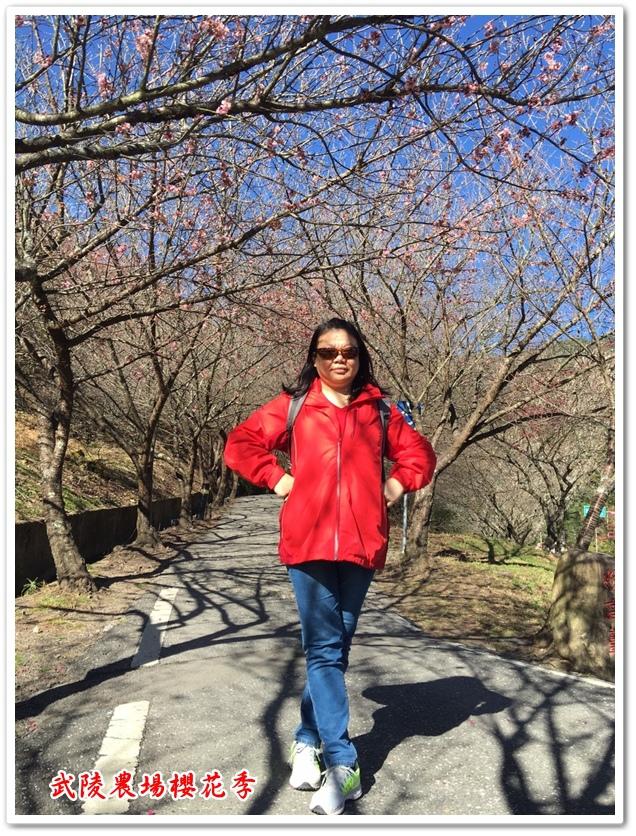 武陵農場櫻花季 22