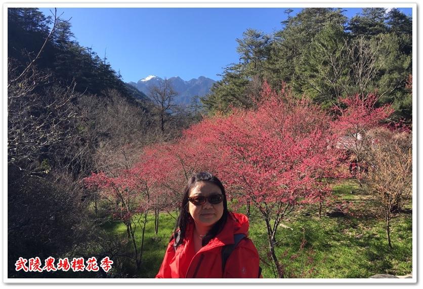 武陵農場櫻花季 23
