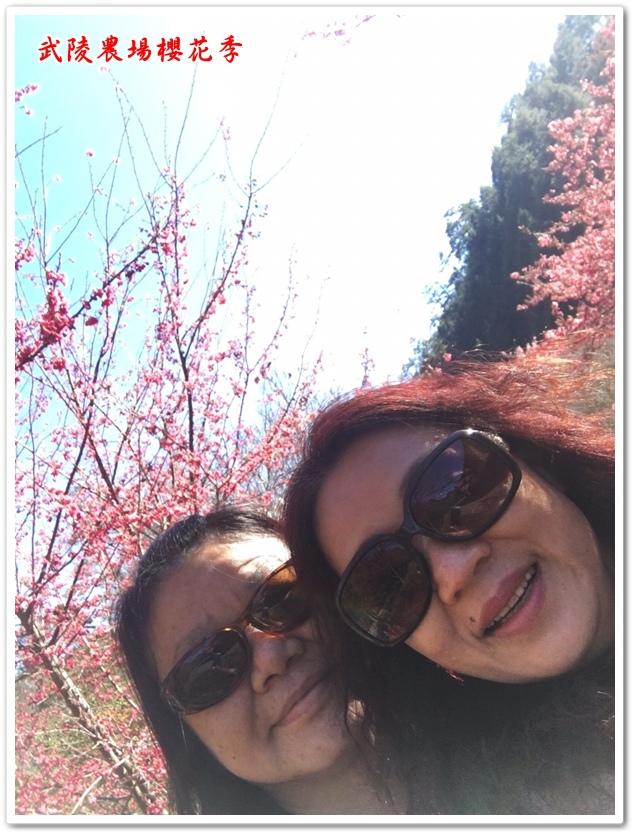 武陵農場櫻花季 25