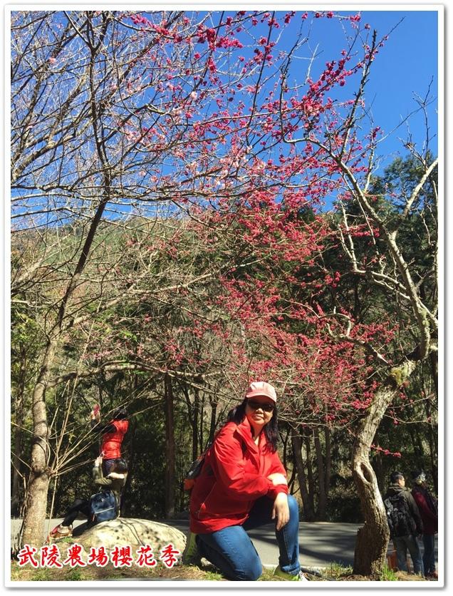 武陵農場櫻花季 26