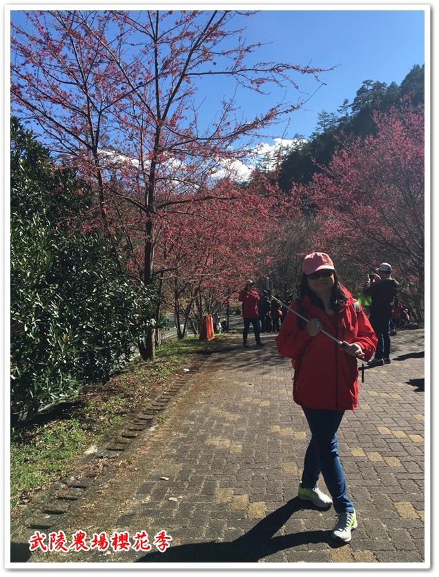 武陵農場櫻花季 28