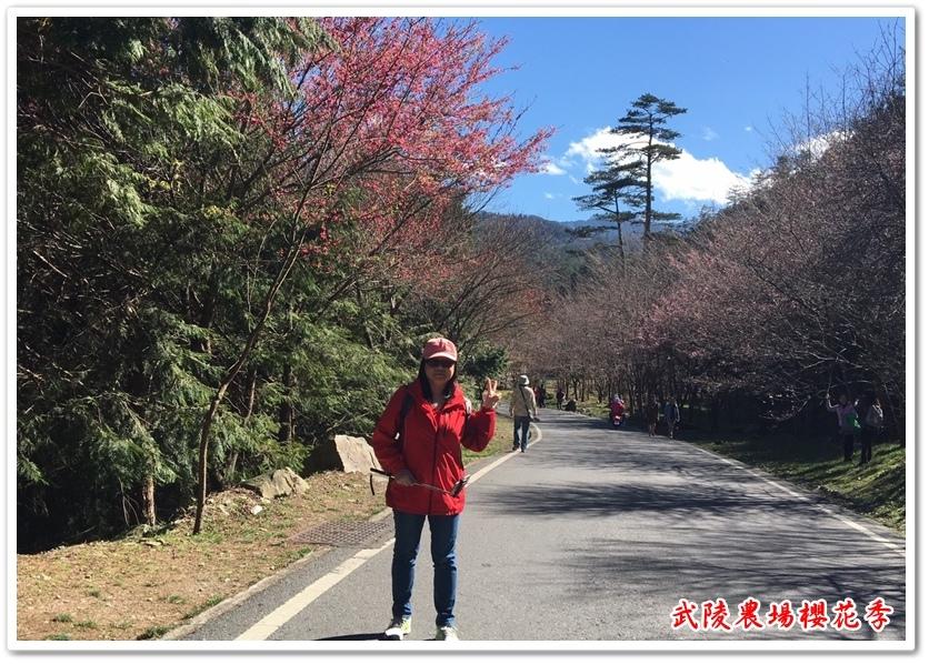 武陵農場櫻花季 29