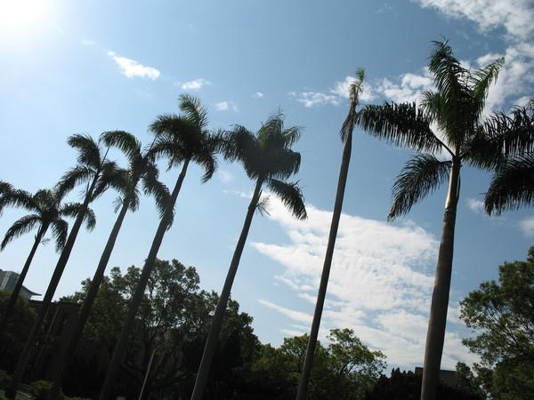 橫亙兩旁的椰子樹,是台大的象徵