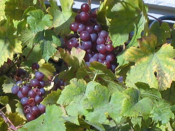 一戶人家窗戶邊的小葡萄~