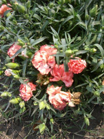 被艷陽曬到脫水的雙色康乃馨