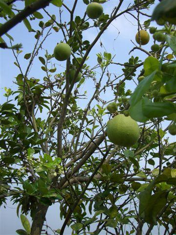結實累累的柚子