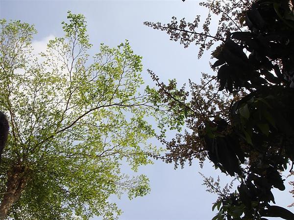 長高的南仁樹和開花的芒果