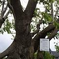 應該是有點歷史的樹