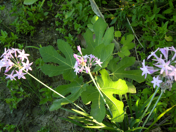 5紫嬌花與無花果