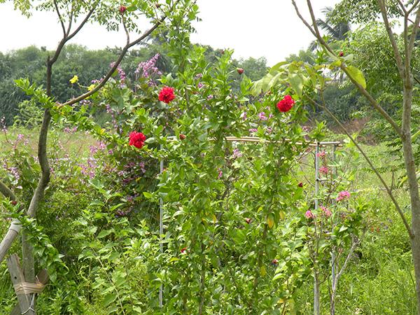 4.鵲豆絲瓜和扶桑,鄉間風情~~.jpg