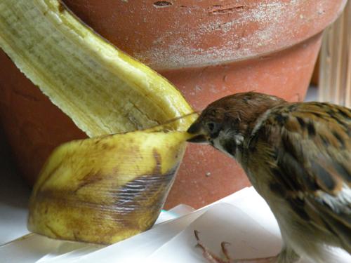 香蕉皮好吃嗎?.jpg