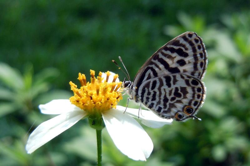 角紋小灰蝶