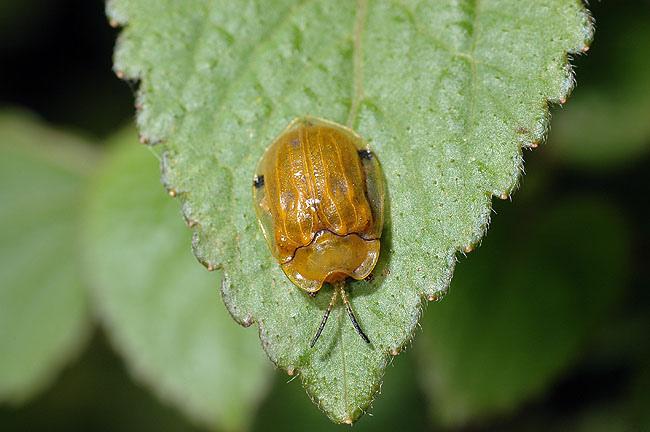 大黃龜金花蟲