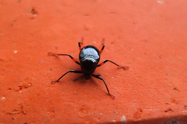 碩出尾蕈蟲