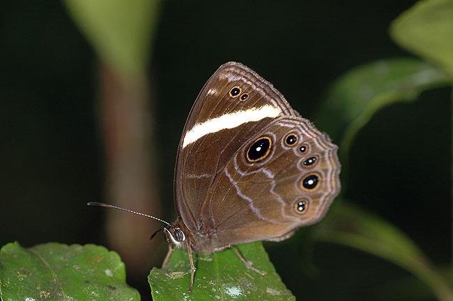 玉帶黑蔭蝶