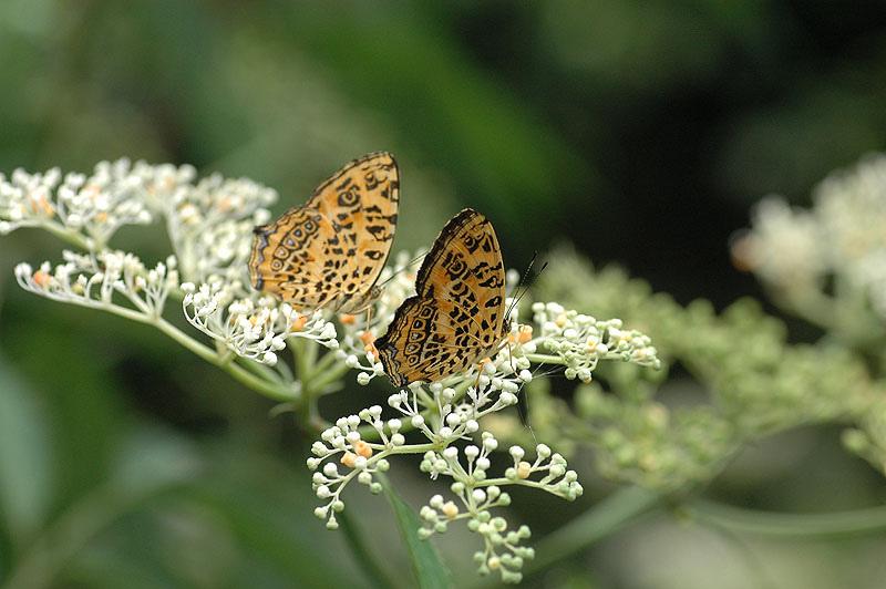 姬黃三線蝶