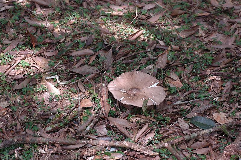 福山的蟻巢傘