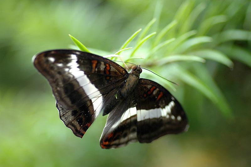 紫單帶蛺蝶