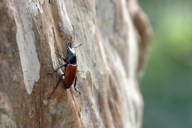 紅圓翅鍬形蟲