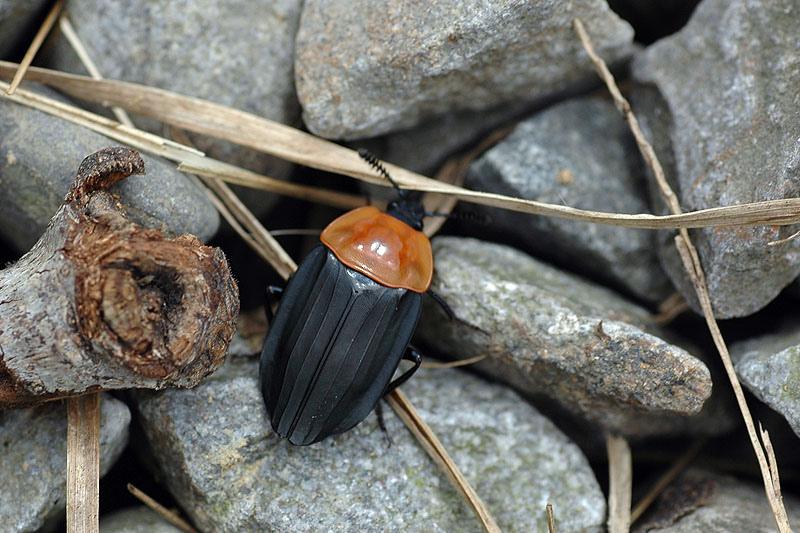 紅胸埋葬蟲