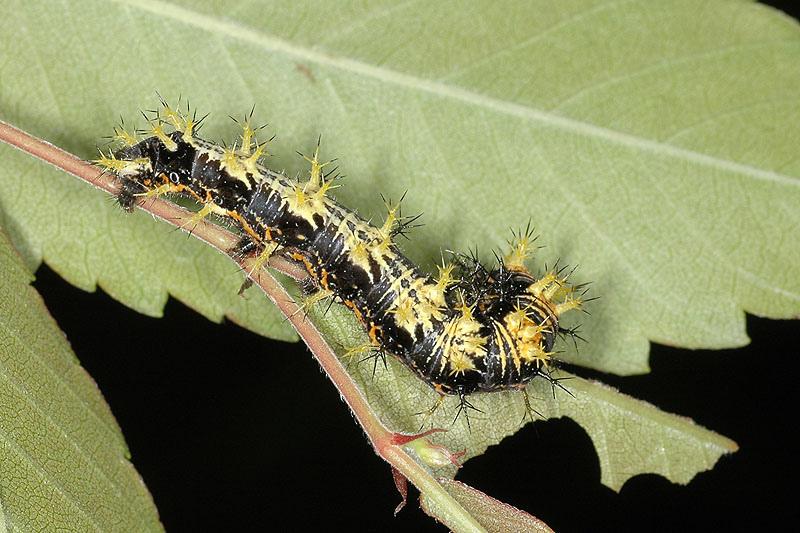 白鐮紋蛺蝶幼蟲