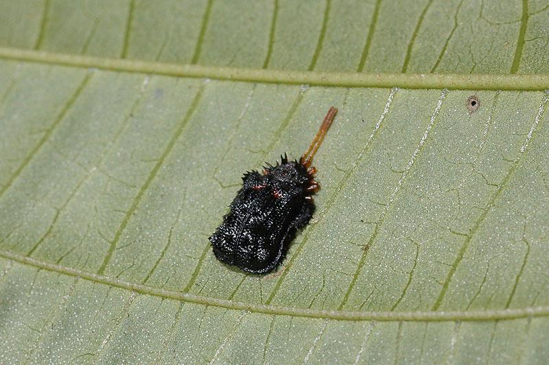波緣鐵甲蟲