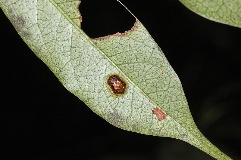 金斑龜金花蟲