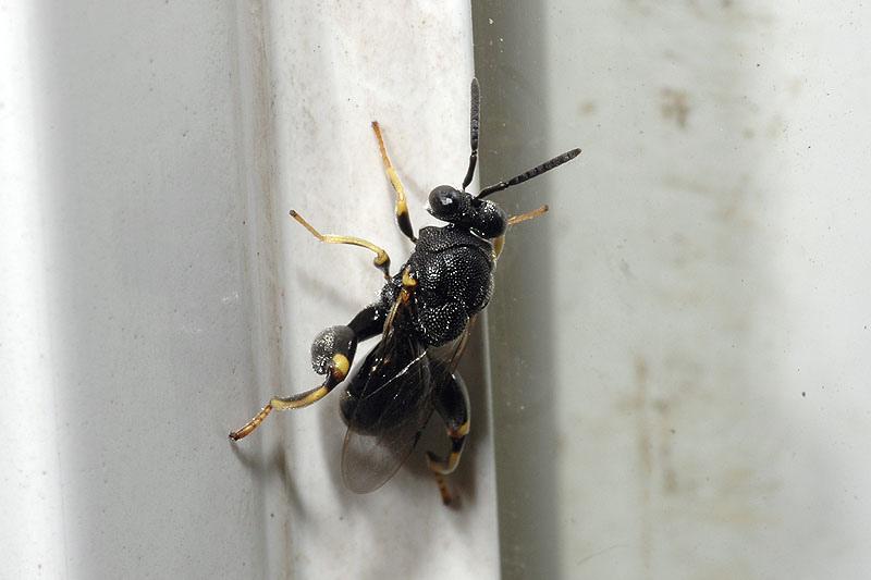 廣大腿小蜂